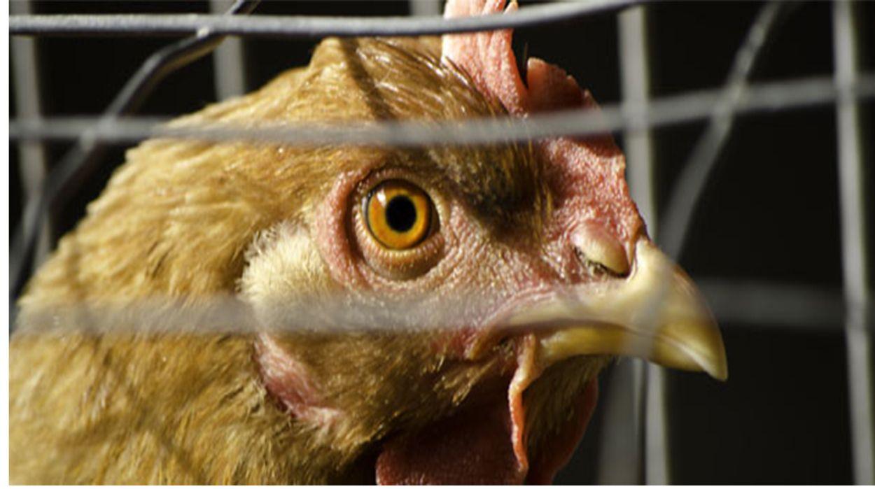 Afbeelding van KFC scoort hoog op kippenwelzijn, Burger King juist laag