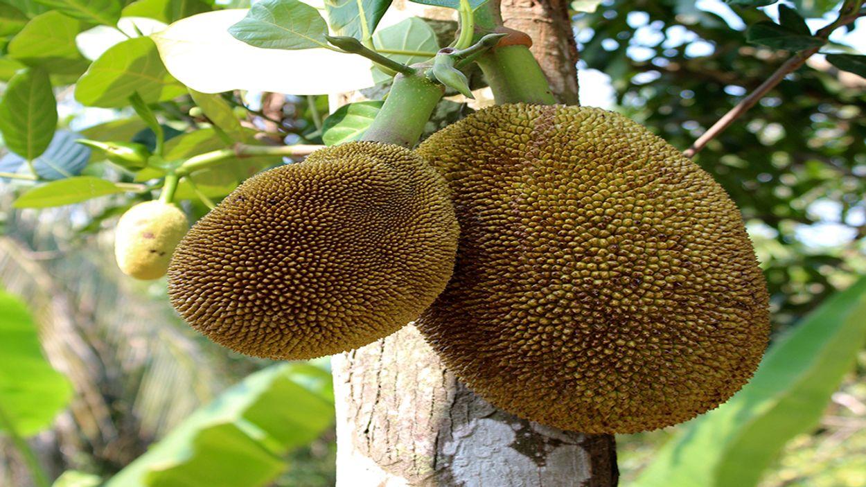Afbeelding van 'Jackfruit' op het menu: dit moet je weten over de vleesvervanger