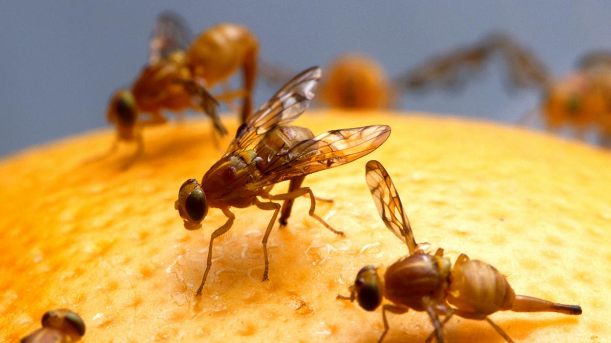 Afbeelding van Voorkom fruitvliegjes in huis
