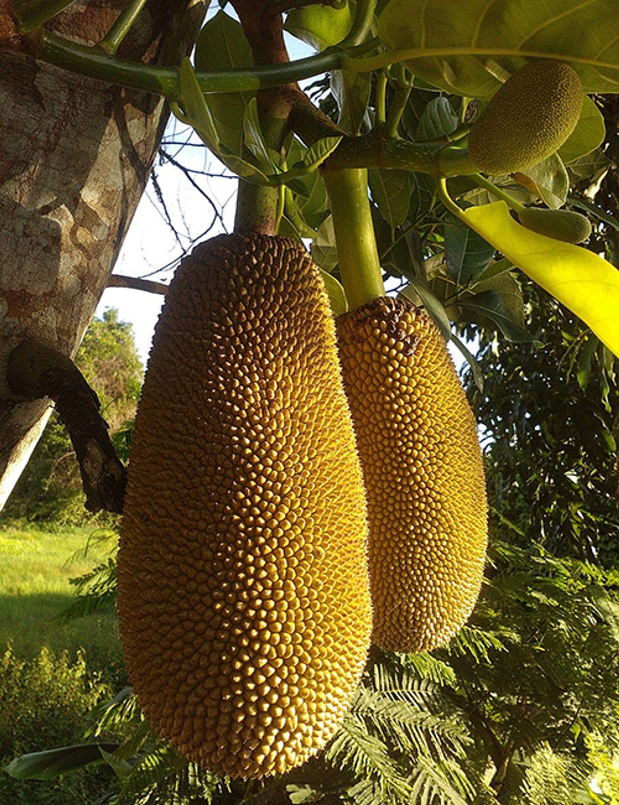 jackfruit kleine afbeelding