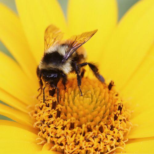 Afbeelding van Bijendodend beschermingsmiddel vanaf volgend jaar verboden