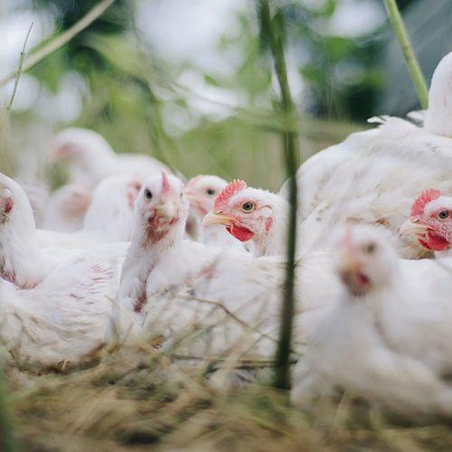 Afbeelding van 'Kippenvel'  bij Wakker Dier vanwege Beter Leven-kip Albert Heijn