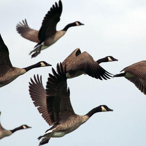 Afbeelding van Vogelgriep Utrecht baart zorgen: 'ganzen vallen dood uit de lucht'
