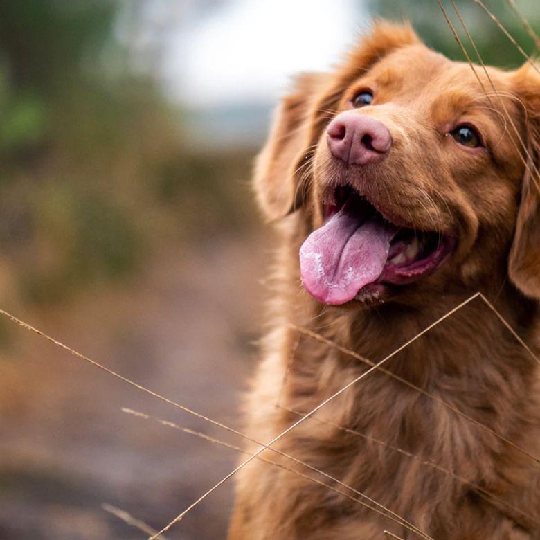 Afbeelding van Ontstekingsremmers voor honden: wat moet je als baasje weten?